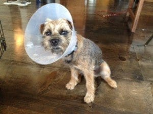 NYC Dog Trainer Services & Dog Wellness | Dog Will With Cone Collar | Dog Training in Manhattan
