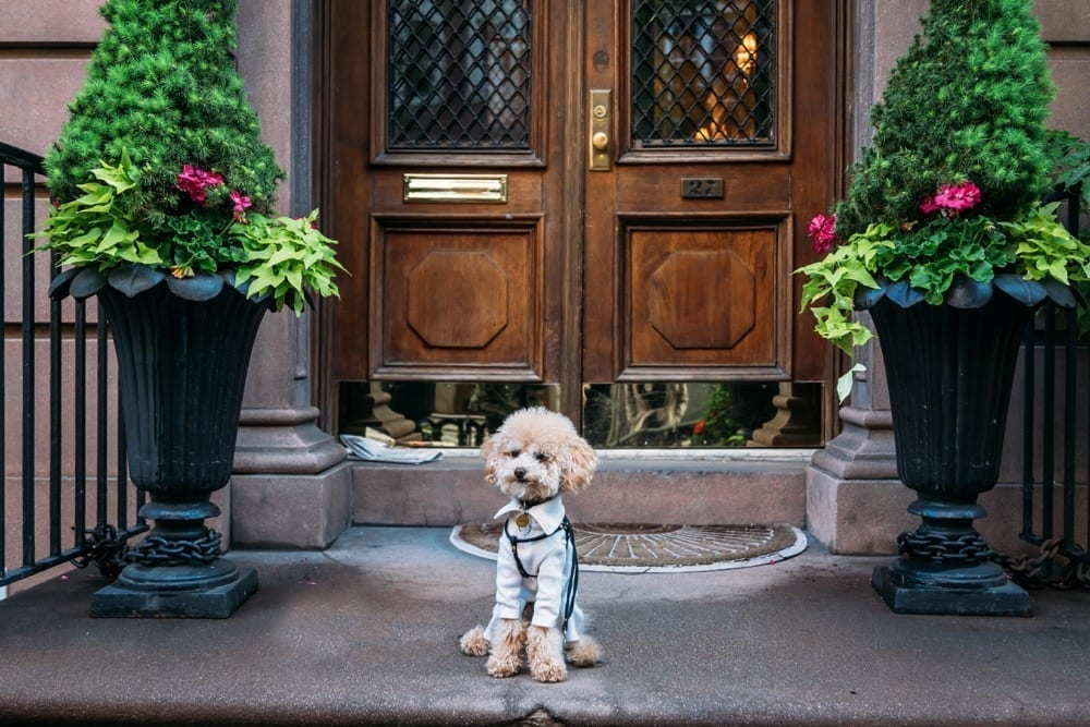 Little Pepin practicing nice manners | Dog Trainer Dog Relations NYC