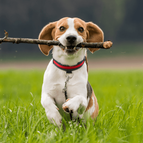 dog running to owner with stick